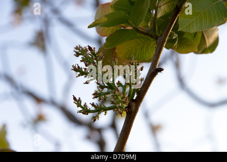 fresh pistachio nuts growing on a  pistachio tree in Greece - Stock Photo