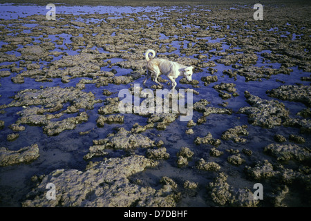 A stray dog walking over corals exposed during low tide in Nuweiba Tarabin beach in Nuweiba also spelled: Nueiba - Stock Photo