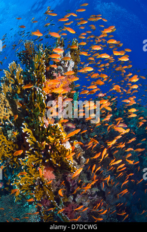 Lyretail anthias or Goldies (Pseudanthias squamipinnis) over coral reef, feeding in the current. Egypt, Red Sea. - Stock Photo