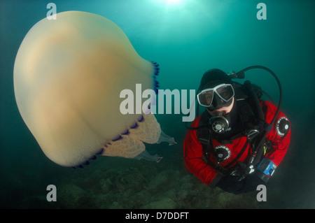 Rhizostome Jellyfish and Scuba Diver, Rhizostoma pulmo, Piran, Adriatic Sea, Slovenia - Stock Photo
