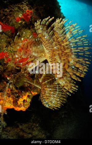 Spiral Tube Worm, Spirographis spallanzani, Bodrum, Turkey - Stock Photo