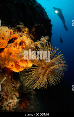Spiral Tube Worm, Spirographis spallanzani, Bodrum, Turkey - Stock Photo