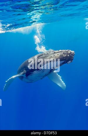 Humpback Whale, Megaptera novaeangliae, Hawaii, USA - Stock Photo