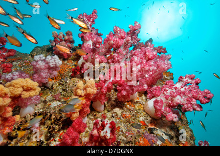 Soft Coral Reef, Dendronephthya klunzingeri, Hallaniyat Islands, Arabian Sea, Oman - Stock Photo