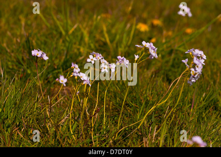 Cuckoo Flower or Lady's Smock Cardamine pratensis - Stock Photo