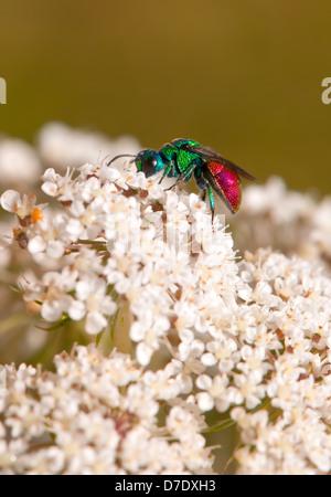 Chrysididae - Cuckoo Wasp - Stock Photo