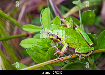 Tree frog Camouflaged on Leafs - Stock Photo