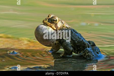 Male Eastern American toad (Bufo americanus a.) singing in spring
