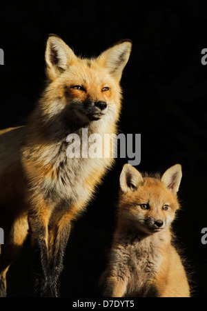 Family portrait. Female red fox with two month pup isolated on black background. - Stock Photo