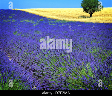 FR - ALPES-DE-HAUTE-PROVENCE: Lavender Field and tree on Plateau de Valensole near Puimoisson - Stock Photo