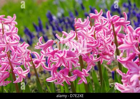Hyazinthe - hyacinth 04 - Stock Photo