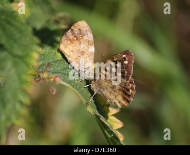 Detailed macro image of a male and a female Speckled Wood butterfly  (Pararge aegeria) posing on a leaf - Stock Photo