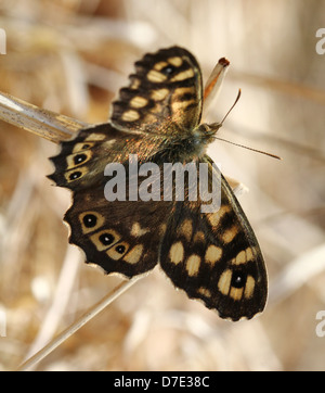 Detailed macro image of a well camouflaged female Speckled Wood butterfly  (Pararge aegeria) posing in the grass - Stock Photo