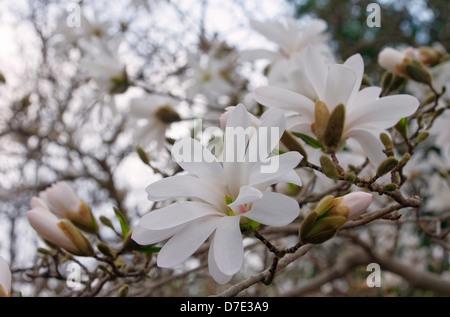Sternmagnolie - star magnolia 01 - Stock Photo