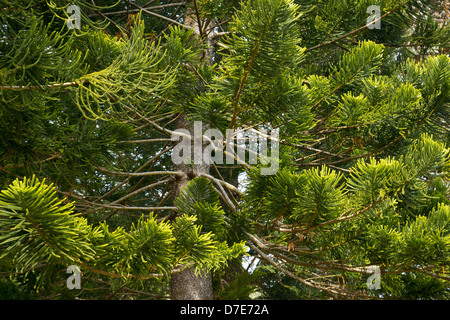 Non-flowering pine trees found at the Makiki trail loop on the island of Oahu, Hawaii - Stock Photo