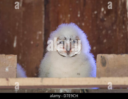 Roseburg, Oregon, USA. 5th May 2013. A barn owl owlet sits in its nest box high in the peak of a barn on a farm - Stock Photo