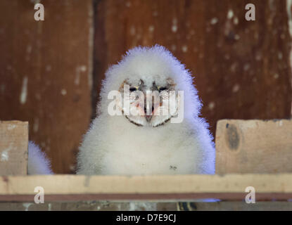 Roseburg, Oregon, USA. 5th May 2013. A barn owl owlet sit in its nest box high in the peak of a barn on a farm in - Stock Photo