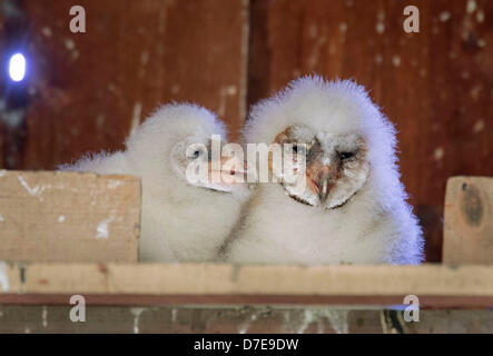 Roseburg, Oregon, USA. 5th May 2013. A pair of barn owl owlets sit in their nest box high in the peak of a barn - Stock Photo