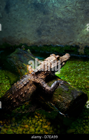 Captive alligator / crocodiles - Stock Photo