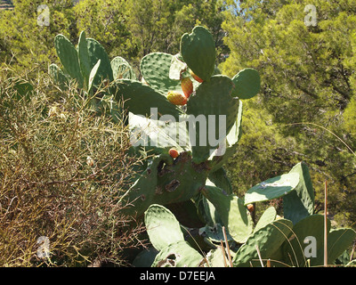 Opuntia ficus indica in a forest on Majorca island in Spain - Stock Photo