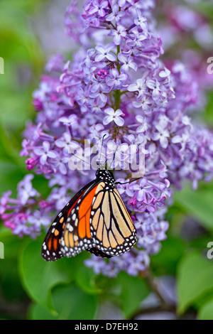 Monarch Danaus plexippus nectaring lilac flowers Greater Sudbury  Ontario Canada - Stock Photo