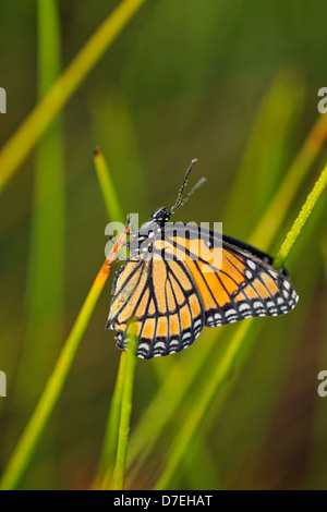 Viceroy Limenitis archippus Mullerian mimic. Dewy specimen resting in marsh grasses Greater Sudbury  Ontario Canada - Stock Photo
