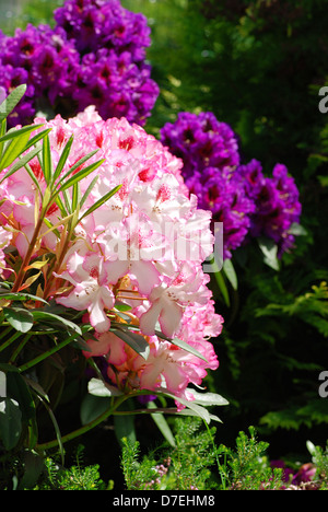 Beautiful pink rhododendron flower background - fresh colors of spring - Stock Photo