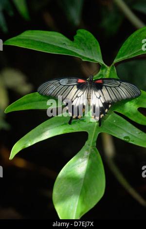 Low's swallowtail Papilio lowii Niagara Butterfly Conservatory Niagara Falls Ontario Canada - Stock Photo