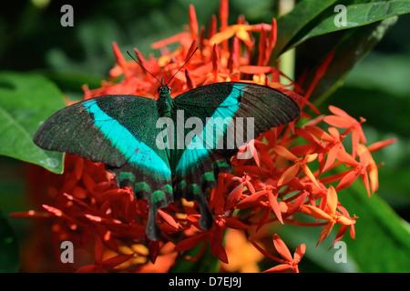 Banded peacock Papilio palinurus Niagara Butterfly Conservatory Niagara Falls Ontario Canada - Stock Photo