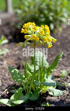 Yellow Primula veris, cowslip - Stock Photo