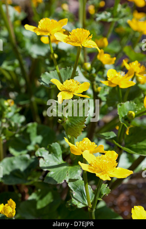 Yellow Marsh marigold flowers - Stock Photo