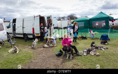 Woman grooming a Husky dog at the annual garden show at Preston Park Stockton on Tees UK - Stock Photo