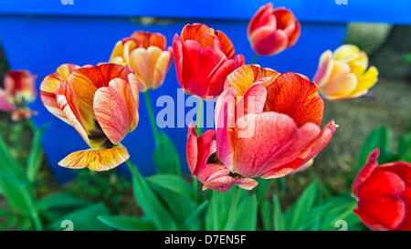 Hempstead, New York, USA. 5th May 2013. Thousands of colorful tulips, such as these red and yellow ones, are growing - Stock Photo