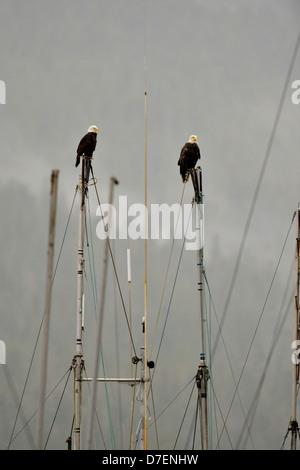 Bald eagle (Haliaeetus leucocephalus) Adult, Prince Rupert, British Columbia, Canada - Stock Photo