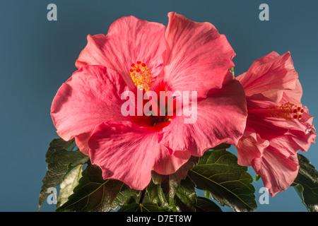 hibiscus flower studio shot rosemallow friered fire red fire-red Hibiscus rosa-sinensis flower garden rich love - Stock Photo