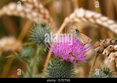 Small Skipper Thymelicus sylvestris on a thistle inside a wheat field - Stock Photo