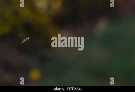 Flight of a bumble bee. A bee caught on camera in headlong flight on a hazy day, with blurred gorse and grass background - Stock Photo