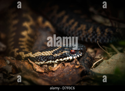Adder, emerging from the undergrowth into the warm sunlight. - Stock Photo