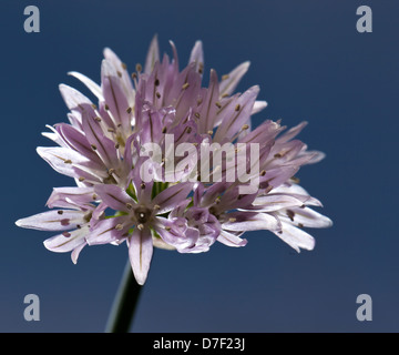 Flowering chives (lilac flowers) on blue background - Stock Photo