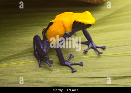 Yellow and blue poison dart frog, Dendrobates tinctorius citronella. A beautiful poisonous animal from the Amazon - Stock Photo