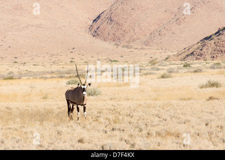 Wild oryx in Namibia, Africa - Stock Photo