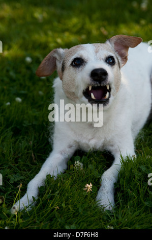 Terrier getting ready to bite - Stock Photo