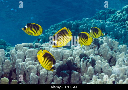 Red Sea raccoon butterflyfish (Chaetodon fasciatus) over coral reef. Egypt, Red Sea. - Stock Photo