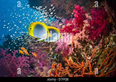 Blackback butterflyfish over coral reef with soft corals - Stock Photo