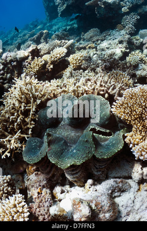 Fluted giant clam (Tridacna squamosa) on coral reef. Maldives. - Stock Photo