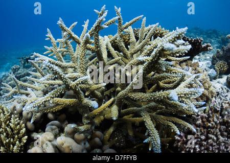 Acropora coral on coral reef. Maldives.