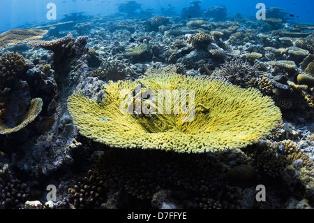 Acropora table coral on coral reef  Maldives - Stock Photo