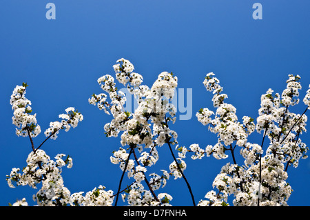 white cherry blossoms with blue sky in the background - Stock Photo