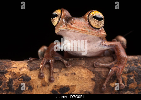 tropical tree frog with big eyes on branch in Amazon rain forest of Brazil - Stock Photo