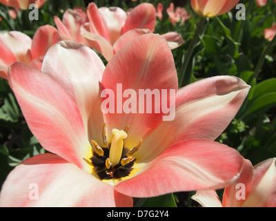 pale pink tulip macro flower parts - Stock Photo